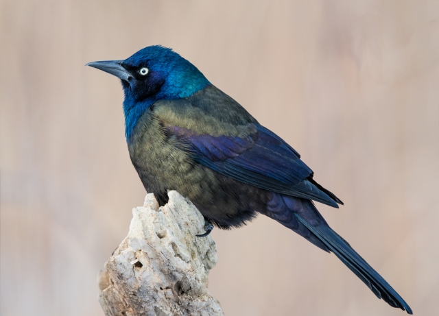 Common Grackle_DSC5267-