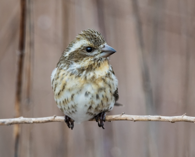 Female purple finch_DSC4621-