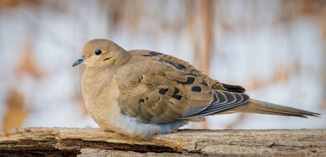 Mouring Dove_DSC5128-